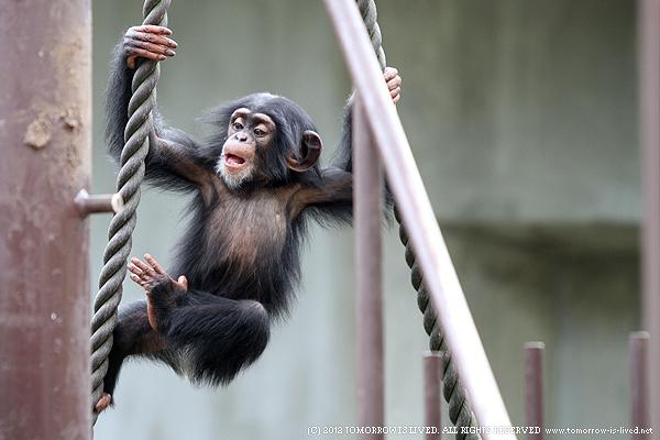 木登りをするチンパンジー